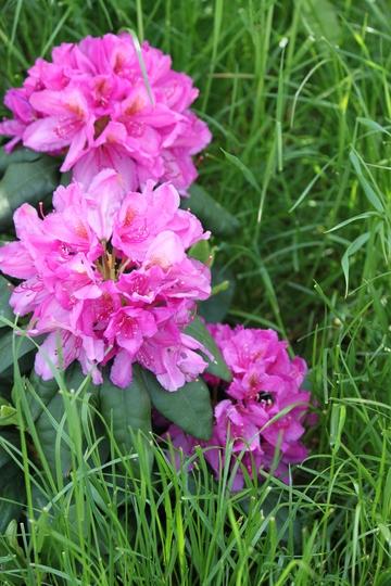 "Rhododendron ""Delta"" (Rhododendron ""Delta"")"