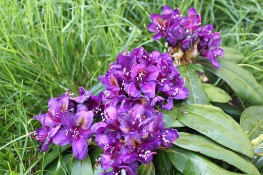 "Rhododendron ""Marcel Ménard"" (Rhododendron ""Marcel Ménard"")"