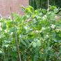 Rhubarb_002