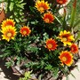 Basket_of_gazania
