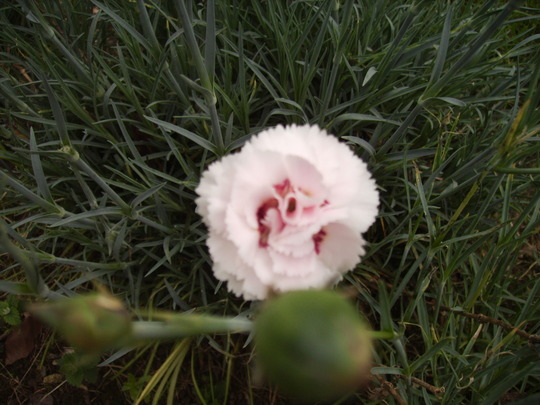 Dianthus (Pinks) 'Doris 06.08