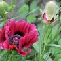 poppy patties plum with buds