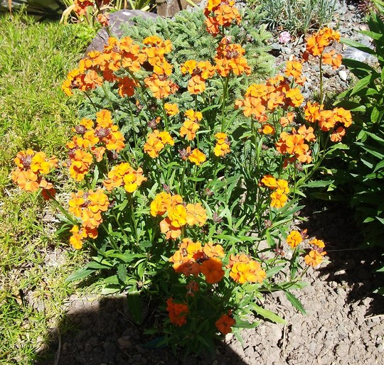 Erysimum Apricot Delight it had gone to seed with the heat in April having cut it right back its back! (Erysimum Apricot Delight)