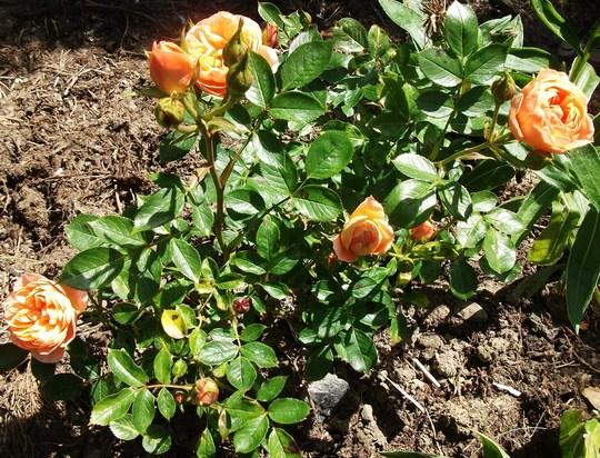 Rose Sweet dreams Floribunda 2nd summer (Rose Sweet Dreams floribunda)