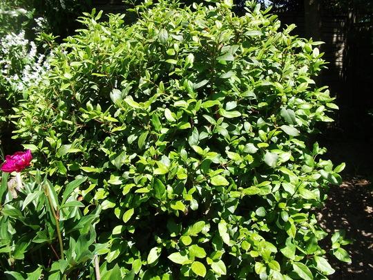 Viburnum Tinus recovered well from a drastic prune as it was quite sick last spring (Viburnum tinus (Laurustinus))