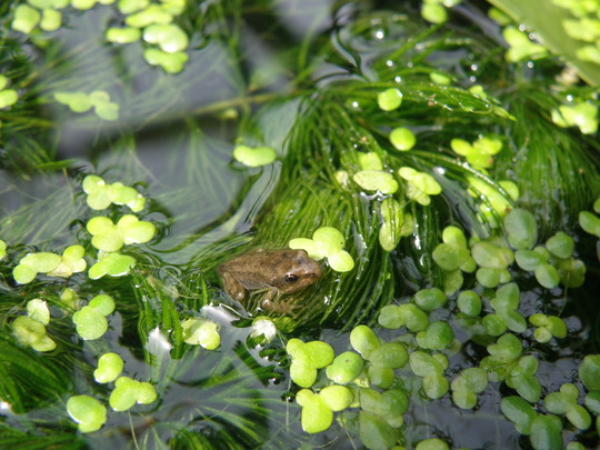 The first little froglet.