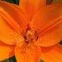 Lily close-up (Lillium)