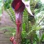 Arisaema spesiosa var. Magnificum (Arisaema speciosum var. magnificum)