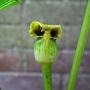 Arisaema_flavum_ssp._tibeticum