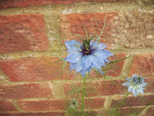 Love in the Mist (Nigella)  .... dark centre 06.08 (Nigella damascena)