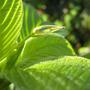 Deppea splendens seedling