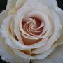 Adriana hybrid tea rose