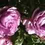 Blue Moon HT rose