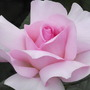 A Whiter Shade of Pale H T rose