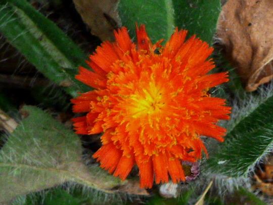 Fox and Cubs      ' Hieracium aurantica ' (Hieracium aurantiacum)