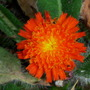 Hieracium_aurantica_.fox_and_cubs