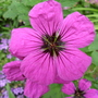 Geranium psilostemon (Geranium psilostemon)