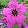 Geranium psilostemon (Geranium psilostemon)