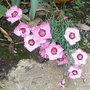 Alpine_dianthus_-_1.jpg (Dianthus)