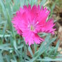 Alpine_dianthus_-_2.jpg (Dianthus)