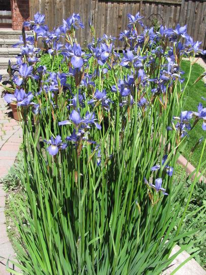 Siberian Iris got tall this year!