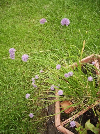 Chives (Allium schoenoprasum.) 05.08 (Allium schoenoprasum.)