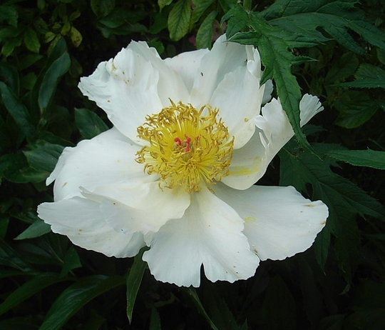 Paeonia 'White Wings' (Paeonia 'White Wings')