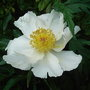 Paeonia_white_wings_