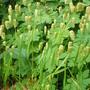 Briza Maxima - Quaking Grass