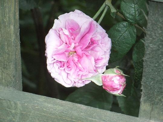 Rosa 'Tour de Malakoff' (Rosa 'Tour de Malakoff')