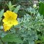 Tropaeolum polyphyllum (Tropaeolum polyphyllum)
