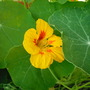 Nasturtium Yellow (Tropaeolum majus (Compact Nasturtium))