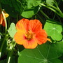 Nasturtium Orange (Tropaeolum majus (Compact Nasturtium))