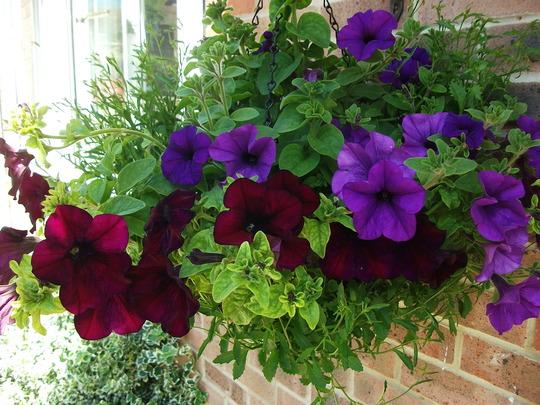 Petunia basket (Petunia single)