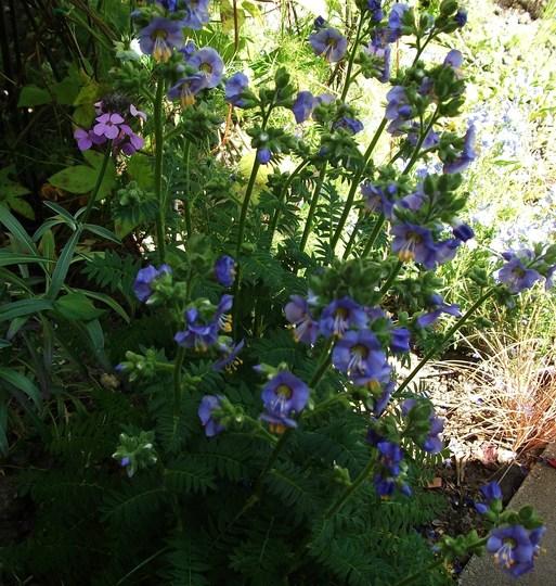 Polemonium caeruleum Viscosum Blue whirl (Polemonium caeruleum (Jacob's ladder))