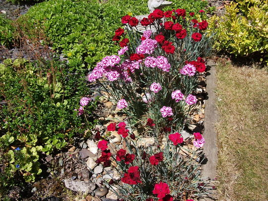 Dianthus seem to love the draught