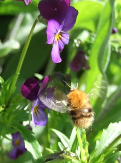 Bumble on Heartsease (Viola tricolor (Heartsease))