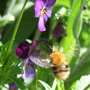 Bumble on Heartsease (Viola tricolor (Heartsease))