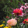 Roses Sunset Boulevard and Harry Wheatcroft (floribunda rose)