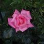 Rose Dancing Queen