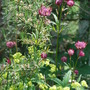 Astrantia and little Mollies