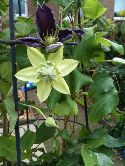 Clematis 'Peppermint' (Clematis 'Peppermint')
