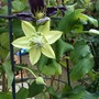 Clematis_the_vagabond_and_peppermint_close_up