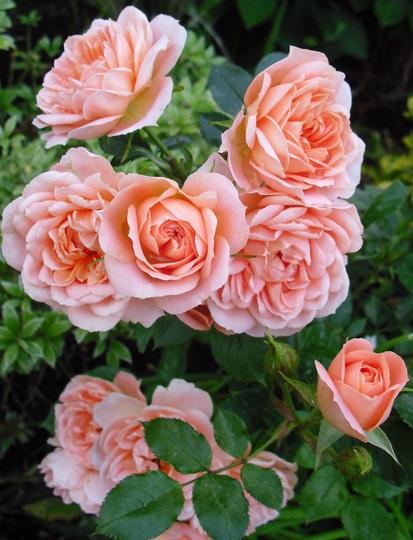 It's that Peach Patio Rose again