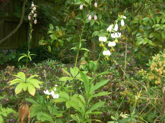 Lilium martagon (Lilium)