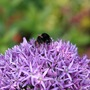 Bee on Allium 6 June