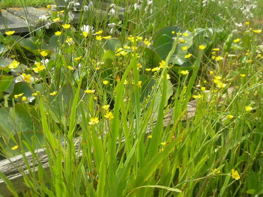 Lesser spearwort (Ranunculus flammula)