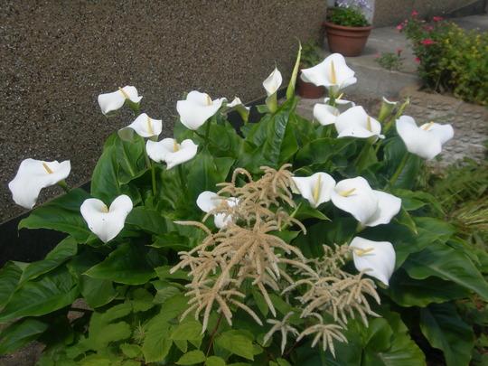 Zantedeschia (Zantedeschia aethiopica (Arum lily))