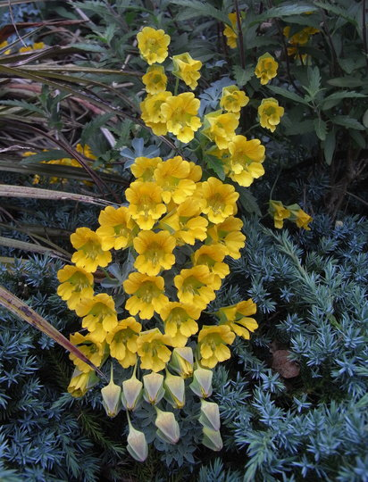 Tropaeolum polyphyllum - 2011 (Tropaeolum polyphyllum)