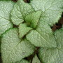 Beacon Silver (Lamium album)